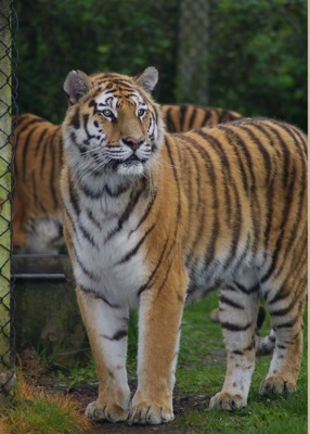Tigers at Wooburn Safari Park